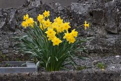 Daffodil kamień 02 Fotografia Stock