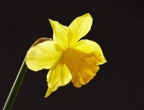 daffodil kolor żółty Obraz Royalty Free