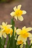 daffodil kolor żółty Zdjęcie Stock