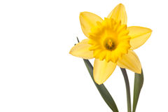 daffodil kolor żółty Obrazy Stock
