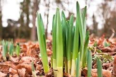 daffodil krótkopędy Obraz Stock