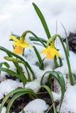 Daffodil kwiat Zdjęcia Stock