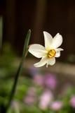 Daffodil kwiat Fotografia Stock