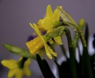 Daffodil kwiat zdjęcie royalty free