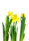 Daffodil kwiat lub narcyza bukiet Zdjęcia Royalty Free