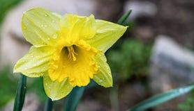 Daffodil kwiatu głowa z wodnymi kroplami Narcyz Pseudonarcissus obrazy stock