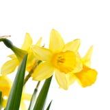 daffodil kwiaty Zdjęcie Stock