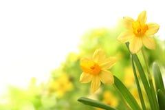 Daffodil kwiaty Obraz Royalty Free