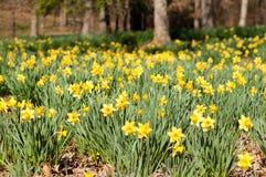 Daffodil kwiaty Obrazy Royalty Free