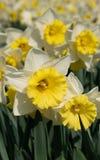 Daffodil, kwiaty wiosna obrazy stock