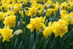 Daffodil, kwiaty wiosna obraz royalty free