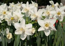 Daffodil, kwiaty wiosna zdjęcie royalty free