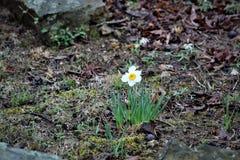 Daffodil kwitnienie w wiośnie zdjęcia royalty free