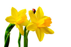 Daffodil with Ladybug Royalty Free Stock Photo