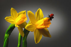 Daffodil with Ladybug Stock Photo