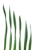 Daffodil Leaf Royalty Free Stock Images