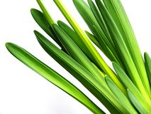 Daffodil leaves. On white background stock photos