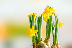 Daffodil lilys in the easter Royalty Free Stock Image