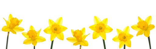 Daffodil Line. Row of yellow daffodils for border or frame royalty free stock images