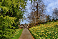 Daffodil lined drive. Royalty Free Stock Images