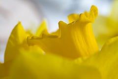 Daffodil Macro Stock Photos