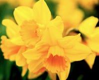 Daffodil macro Stock Photo