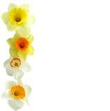 Daffodil Margin Royalty Free Stock Photos
