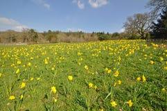 Daffodil meadow Stock Image