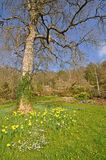 Daffodil meadow Royalty Free Stock Images