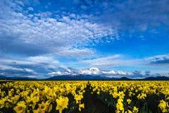 Daffodil miłość Obrazy Royalty Free