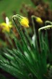 Daffodil na chuva imagens de stock