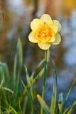 Daffodil (Narcissus) Stock Photo