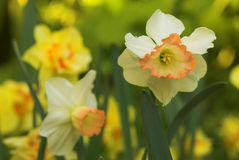 Daffodil or Narcissus Stock Image