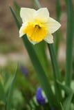 Daffodil (narcissus) Стоковая Фотография RF