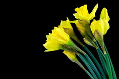 Daffodil, narcissus on black background. Royalty Free Stock Photo