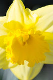 Daffodil - Narcissus Stock Photos