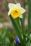 Daffodil (narcissus) Royalty Free Stock Photography
