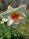 Daffodil narcissus flower stock image