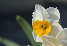Daffodil. A Daffodil/Narcissus flower with dark background Royalty Free Stock Photo