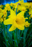 Daffodil (Narcissus) Flower Stock Photos