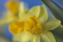 Daffodil Royalty Free Stock Image