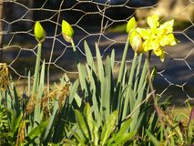 Daffodil narcissus jonquil royalty free stock images