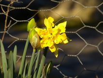 Daffodil narcissus jonquil royalty free stock photos