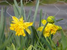 Daffodil narcissus jonquil. Daffodil , narcissus or jonquil they bloom with the first warm suns , RAW is provided stock images
