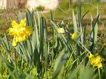 Daffodil narcissus jonquil. Daffodil , narcissus or jonquil they bloom with the first warm suns , RAW is provided stock image