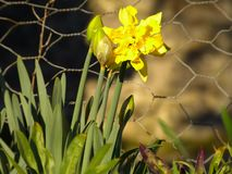 Daffodil narcissus jonquil stock image