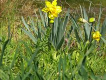 Daffodil narcissus jonquil. Daffodil , narcissus or jonquil they bloom with the first warm suns , RAW is provided stock photo
