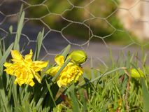 Daffodil narcissus jonquil stock photography
