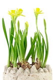 Daffodil (Narcissus jonquilla) Royalty Free Stock Images