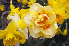 Daffodil (Narcissus plant) Stock Photo